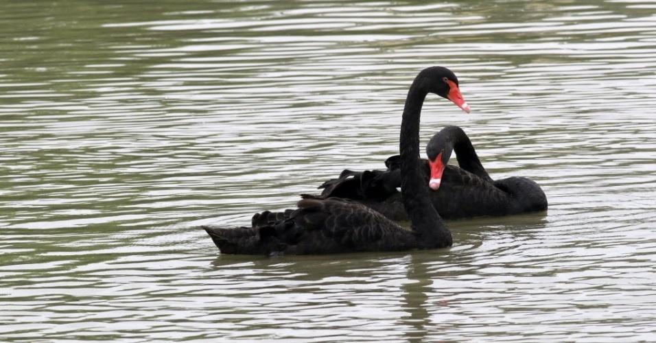 19ago2015---cisnes-negros-nadam-em-lago-do-zoologico-de-huaian-na-provincia-de-jiangsu-no-leste-da-china-1439983206540_956x500